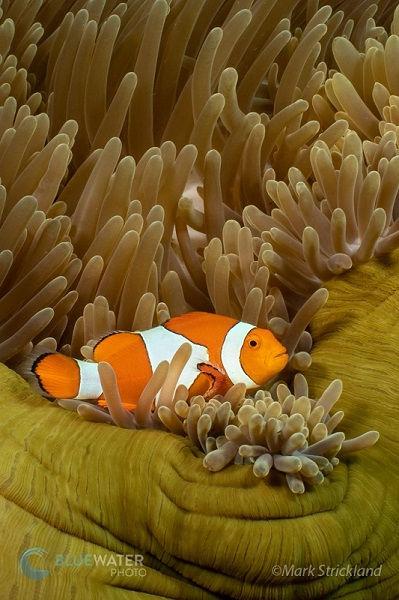 clown anemone fish raja ampat