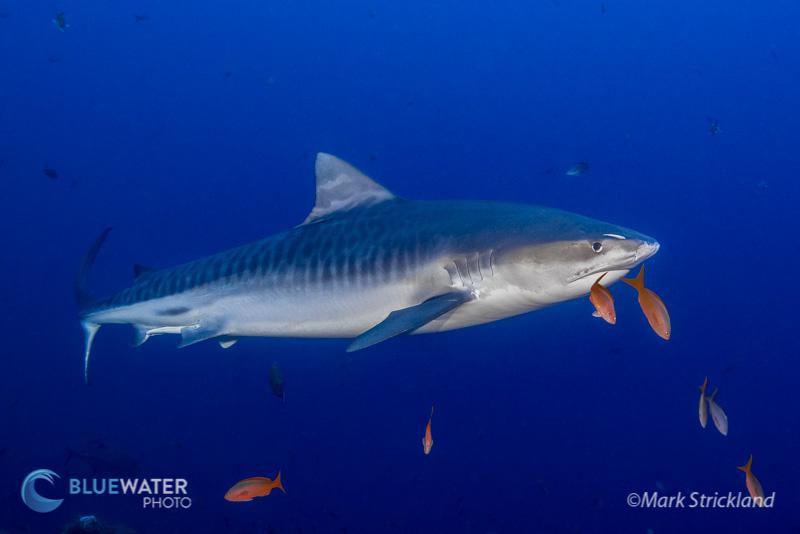 Socorro Tiger Shark