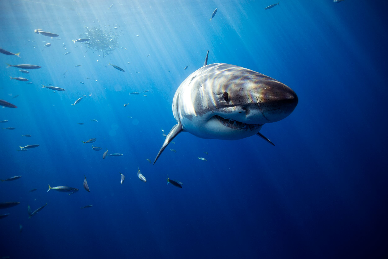Socorro Vortex Guadalupe Underwater by Jorge Hauser