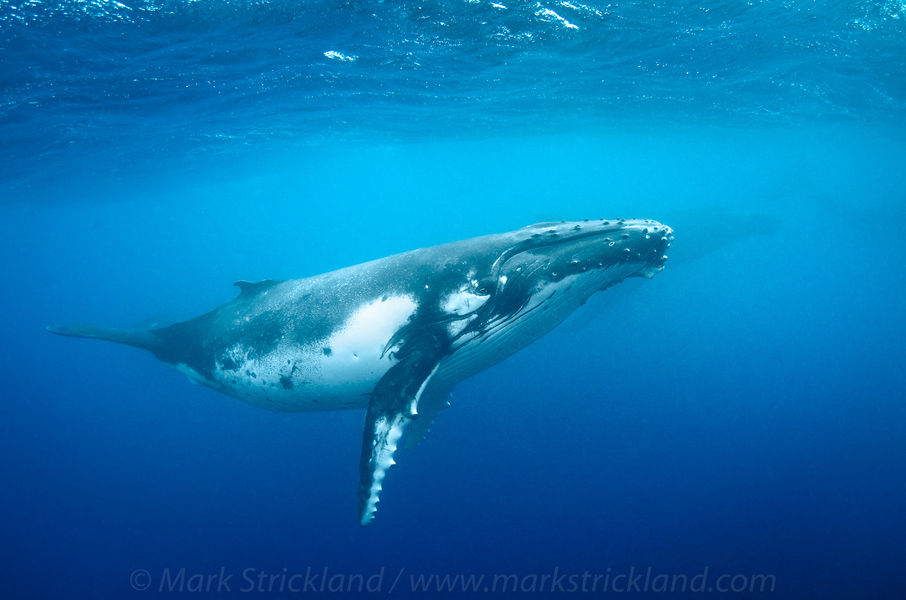 Humpback Whale in Tonga, French Polynesia