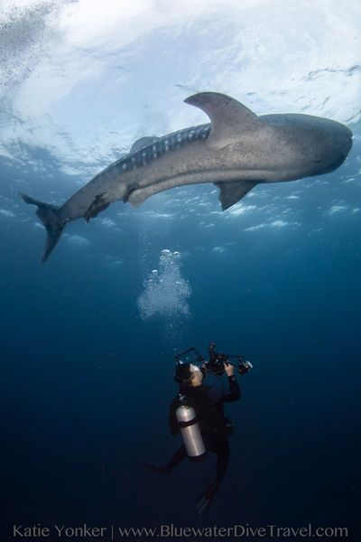 Diving with whale shark in Tubbataha, Philippines