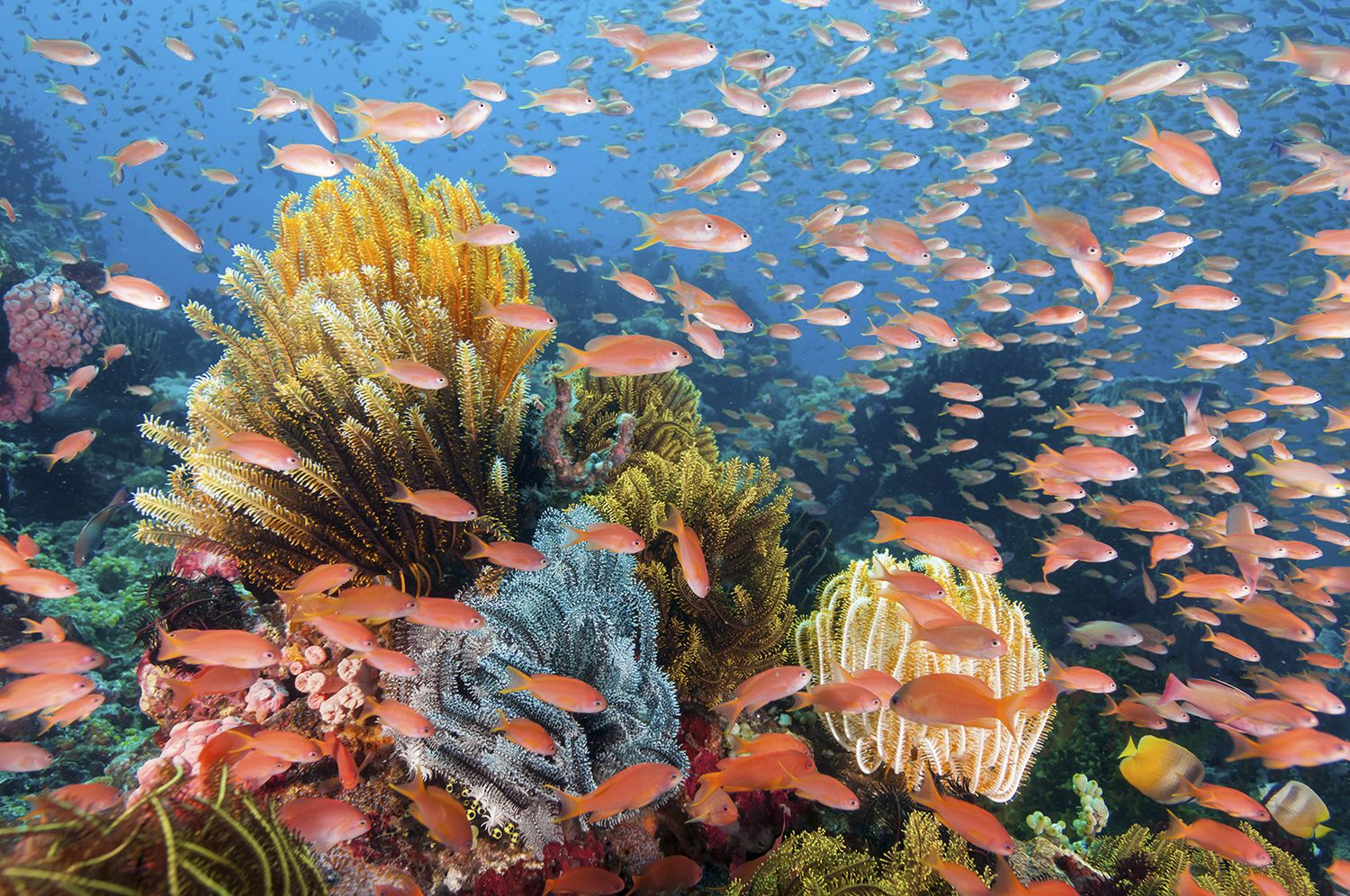 Anthias on the reef at wakatobi – photo Walt Stearns