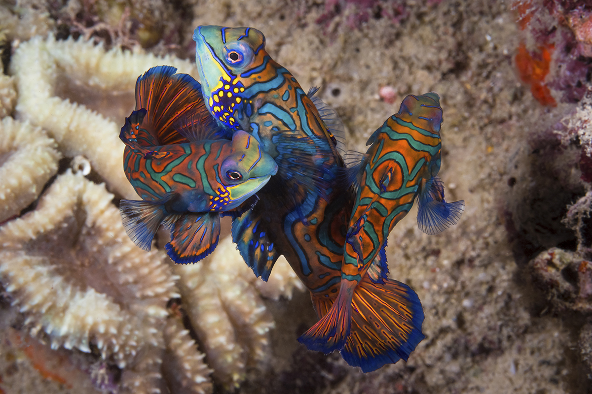 Mandarinfish mating – Wakatobi – photo Walt Stearns