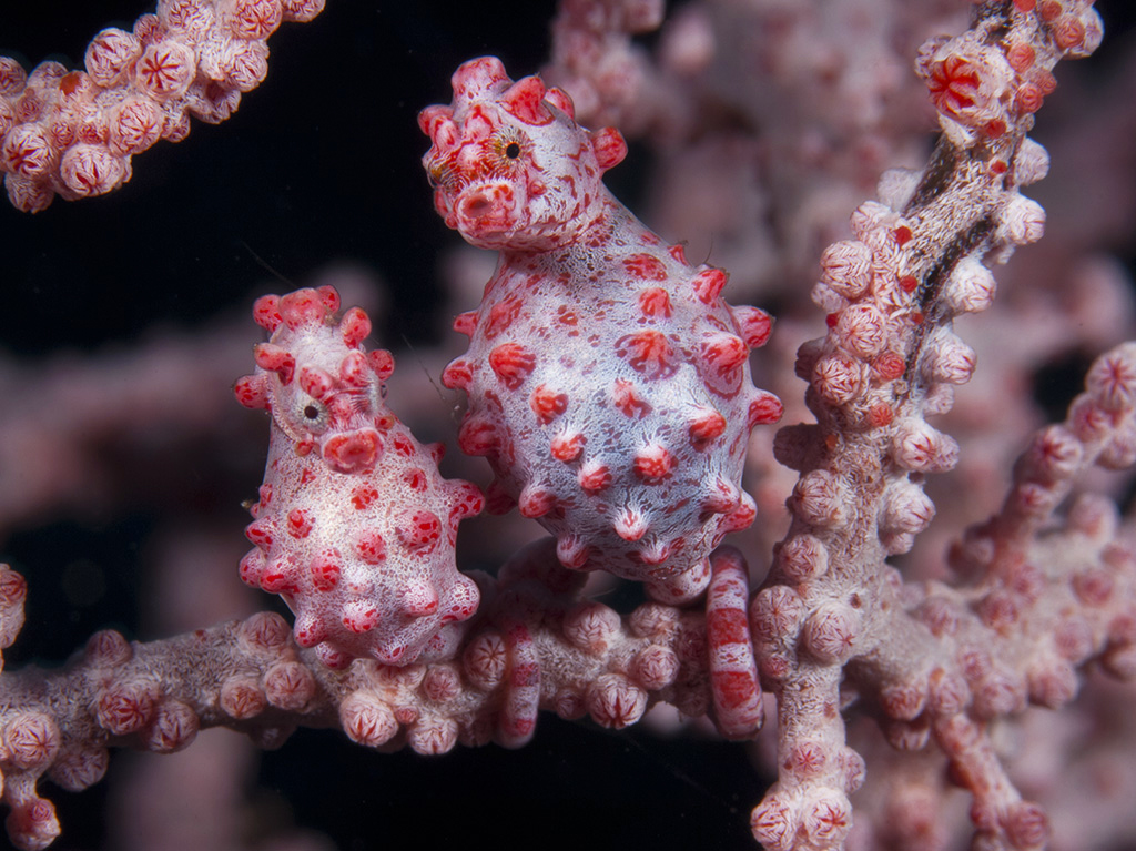 Bargibant's pygmy seahorses on fan at Wakatobi – photo Richard Smith