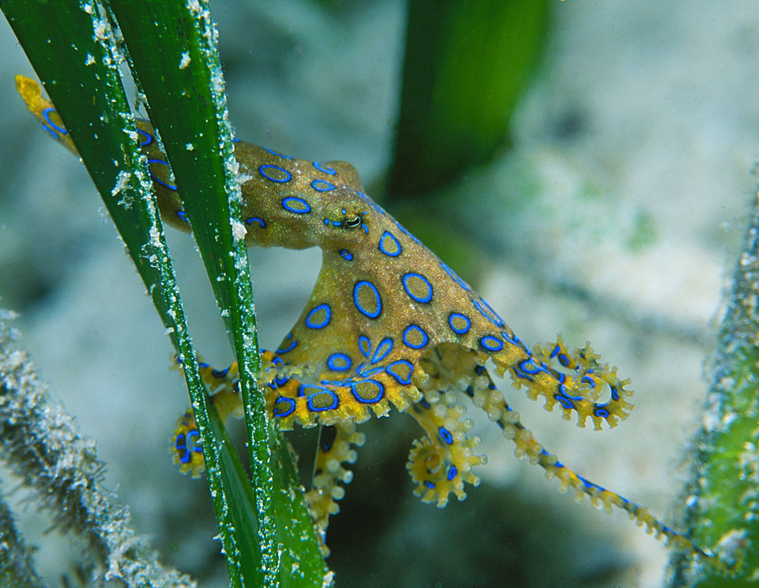 Blue-ringed octopus at Wakatobi – photo Wakatobi Resort
