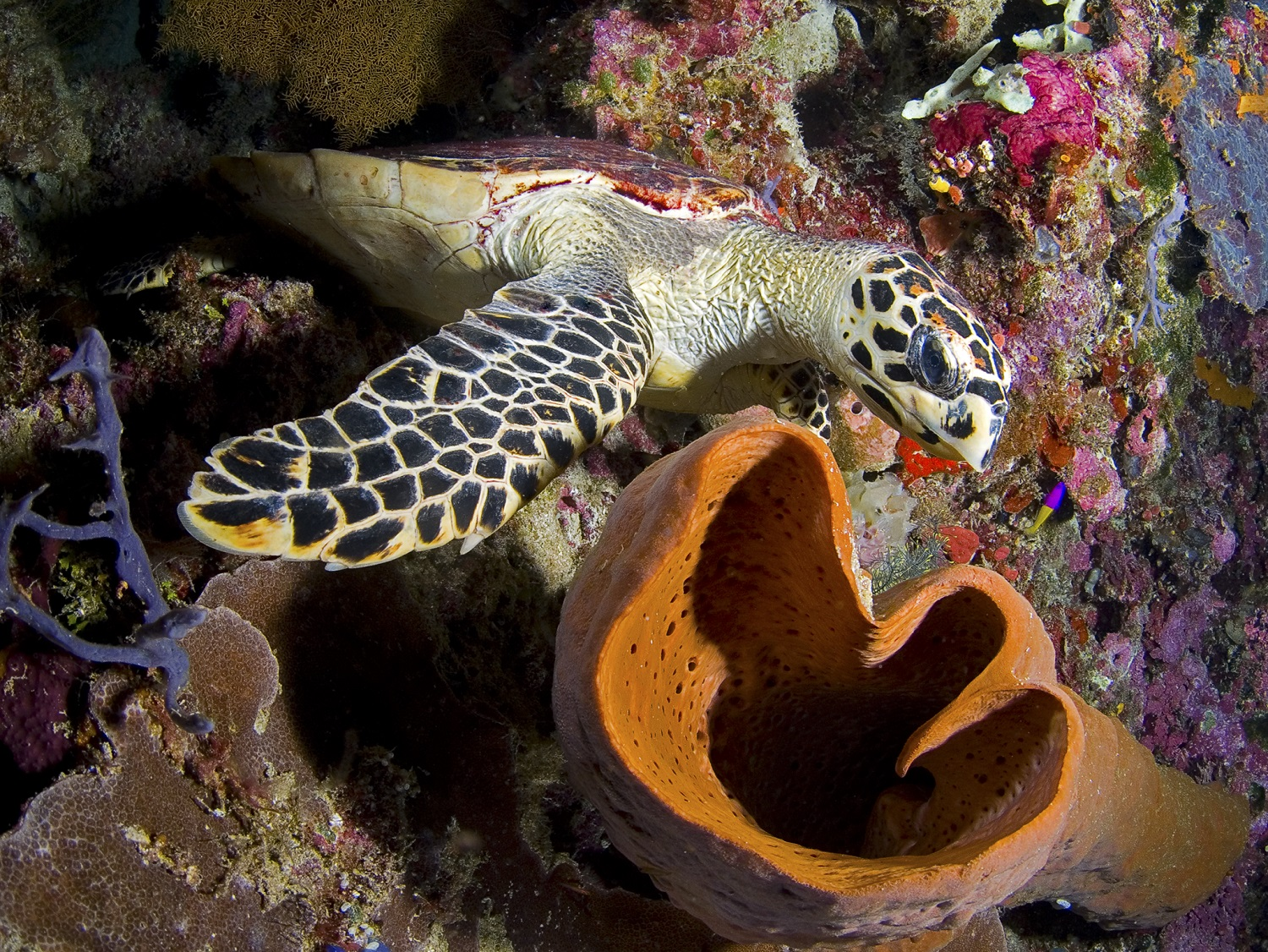 Hawkbill turtle on the house reef – photo Wakatobi Resort