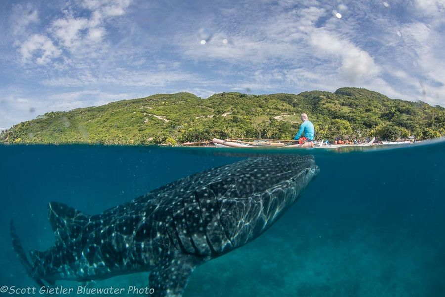 Whale shark diving and snorkeling at Oslob