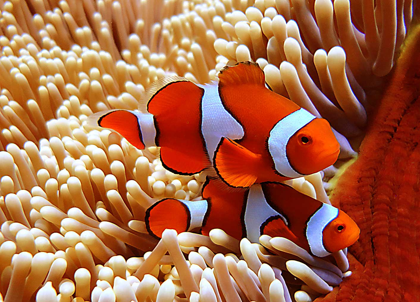 Image gallery orange clown fish for Clown fish for sale