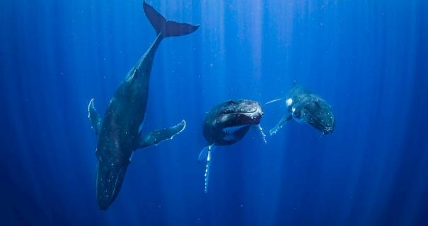 french polynesia humpback whales