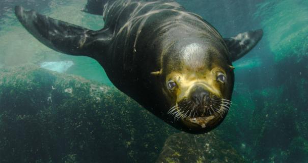 Bull Sea Lion