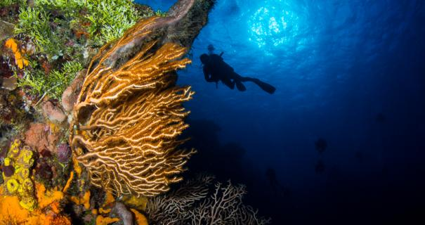 A divers drifts by a gorgonian