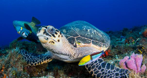 Hawksbill turtle with french angelfish and wrasse