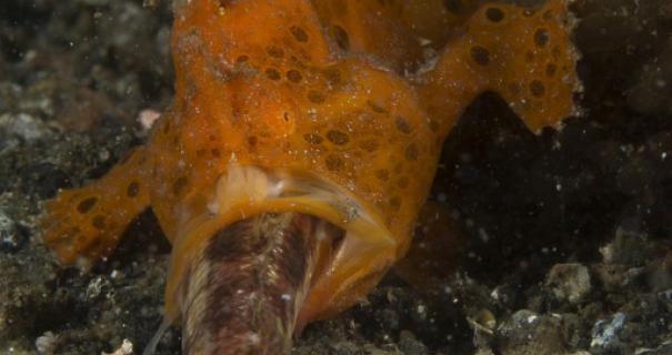 Frogfish with dinner