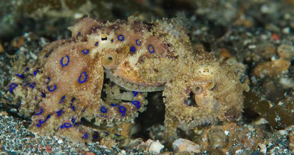 Mating blue-ring octopus