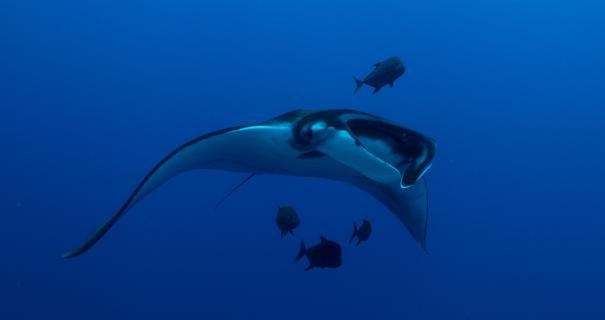 Manta ray seen during our Socorro diving trip in March 2019