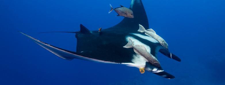 Manta ray in Socorro