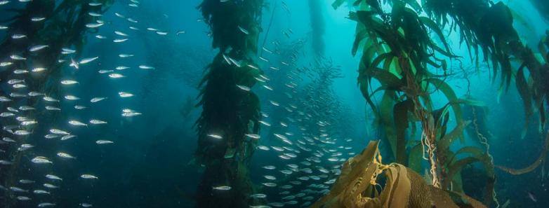 majestic kelp forest