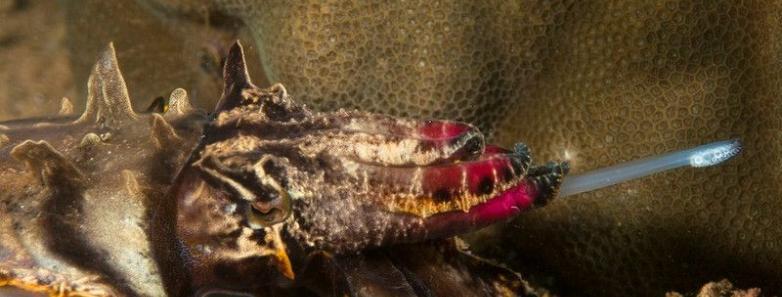 anilao cuttlefish