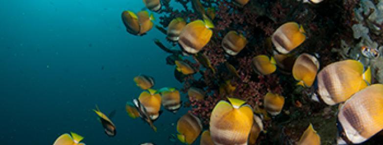 lembeh strait butterflyfish