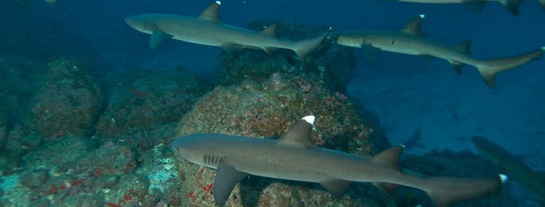 cocos island diving