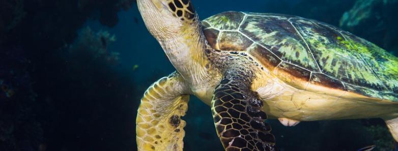 dumaguete turtle