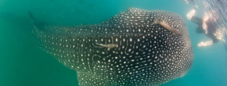 isla mujeres whale shark