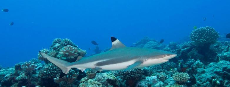 diving in rangiroa