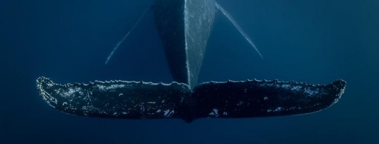 tonga diving