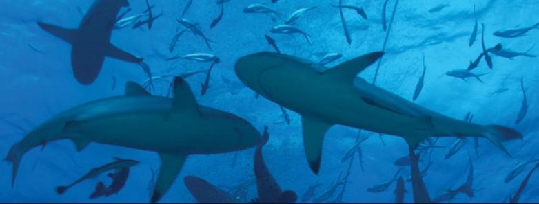 shark diving australia