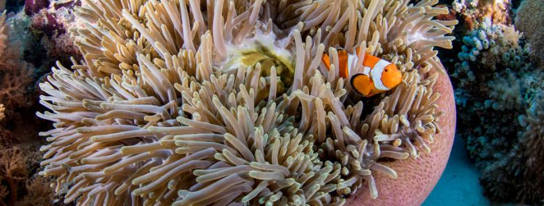 Anemone fish in Tubbataha